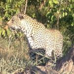 Scarily close to male and female leopards