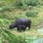 Mama and baby water buffalo