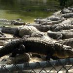 Gators piled on top of each other