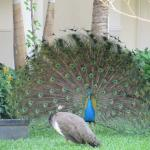 Peacocks on the grounds
