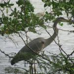 Heron in hiding