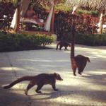 Coatis roaming the grounds of the Westin