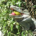 Oscar the biggest iguana that lives on the property enjoying a banana that the owner let us give