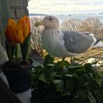 This brazen seagull wanted to eat the tulips in our kitchen window!