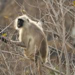 Playful langur at the forest next to hotel