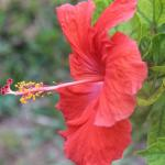 another Hibiscus on the grounds