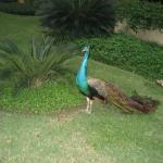 Peacocks on parade in the lush gardens