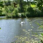 Come and see the swans at Felmoor Park