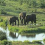 Elephants at the pond below the lodge...