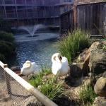 Swans at the Embassy Suites pond in Napa.