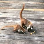 Coati's Roaming the Grounds