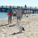Pelican wandering on beach