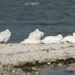 White pelicans on the sand bar in front of the building