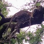 Leopard over our heads