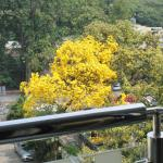 Caribbean Trumpet Tree view from my balcony