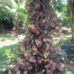 Spectacular cannonball tree deserves a shot
