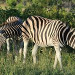 Zebras on our first drive