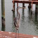 Great Blue Heron behind hotel