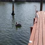 Brown Pelican and White Heron behind hotel