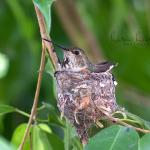 We have two hummingbirds' nests in our gardens right now.