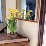 Spring daffodils at Meadowbank House B & B