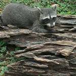 Baby racoon at their wildlife sanctuary