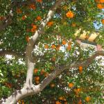 Oranges growing in the grounds