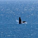 Whale watching in March, photo taken from our lanai (balcony)