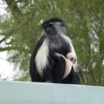 We had a colobus monkey visit with her new baby. What a treat!