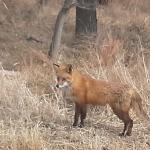 Red fox on the property of Black Walnut Point