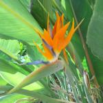 Strelitzia in the garden