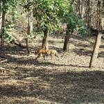 Photo of Tuli Tiger Corridor- Pench