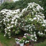 Our white rhododendron