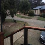 Kangaroos grazing at your doorstep in the early morning