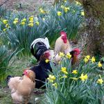 Resident chickens in the wooded garden