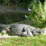 One big alligator - not to be messed with......