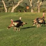 Turkeys roaming the golf course