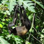 Howler monkeys right in front of the hostel