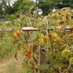 On site garden grows all of the produce used by the resort.  Fresh cherry tomatoes.