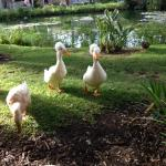Abbott & Costello - crested ducks