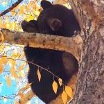 Bear taking a nap in the tree on the outdoor mall