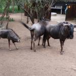 Wildebeest passing through lodge grounds