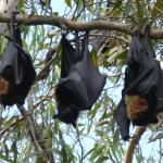 More Fruit bats