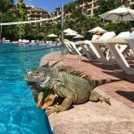 One of the many friendly iguanas at the resort.