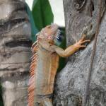 Nice male iguana in the garden