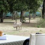 Resident warthogs visiting camp