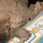 Tortoises at breakfast!