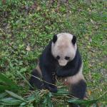 panda at the zoo Guilin