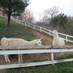 The cute Llamas on site at the hotel