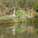 Heron by the mill pond